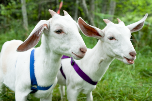Goat Pic 3